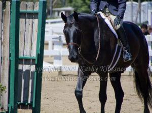 Black Morgan Horse Hunter Jumper