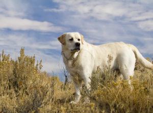 The Boss - White Labrador