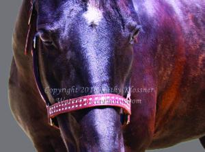 Black Morgan Horse