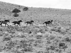 Wild Mustang Stallions Running