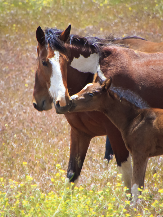 Wild Mustang Foal Photos | Images of Baby Mustang Horses